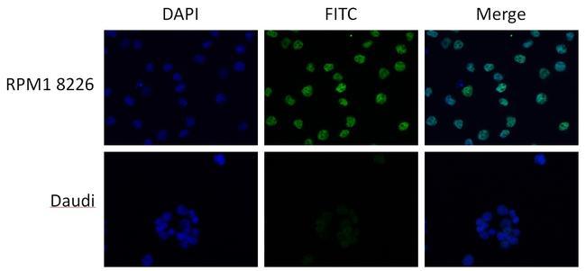 MAF Antibody (PA5-23179) in Immunofluorescence