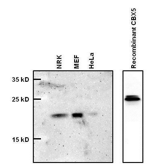 HP1 alpha Antibody (730019) in Western Blot