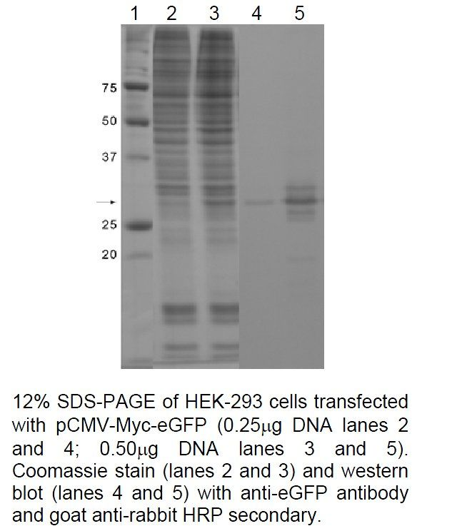eGFP Tag Antibody (CAB4211) in Western Blot