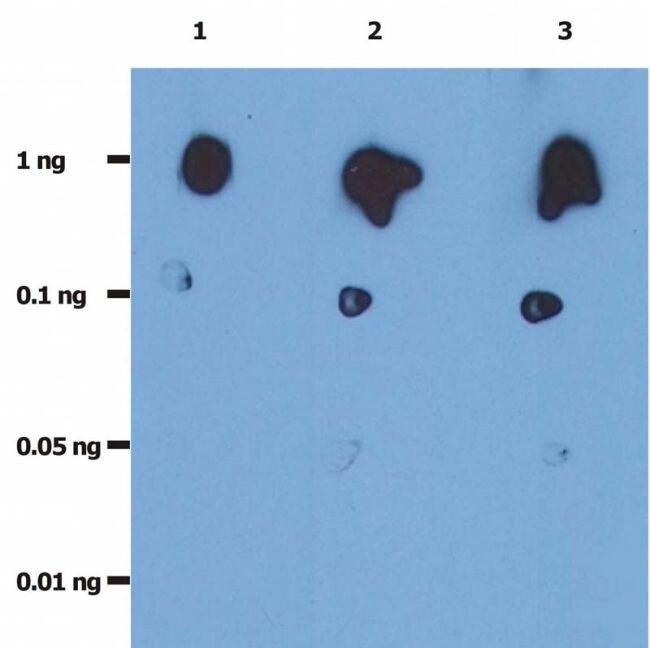 HIV1 Protease Antibody (MA1-19015) in Dot blot