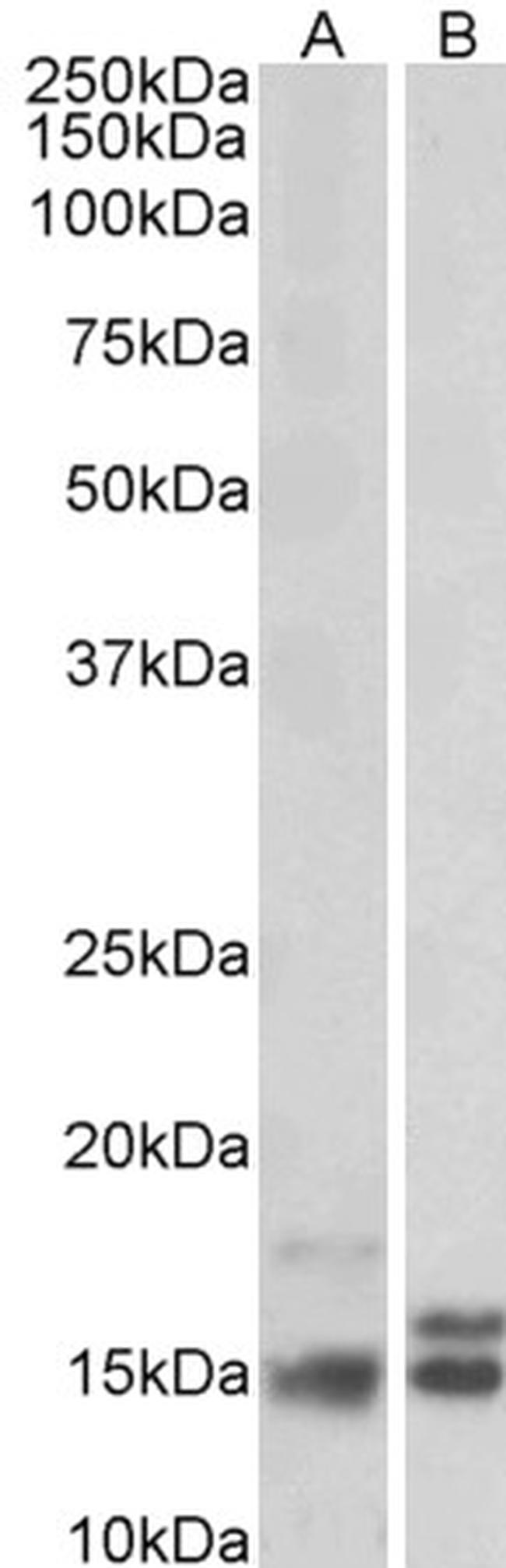 NRGN Antibody (PA5-19209) in Western Blot