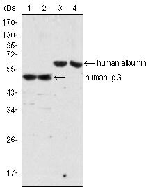 human IgG Secondary Antibody (MA5-14755) in Western Blot