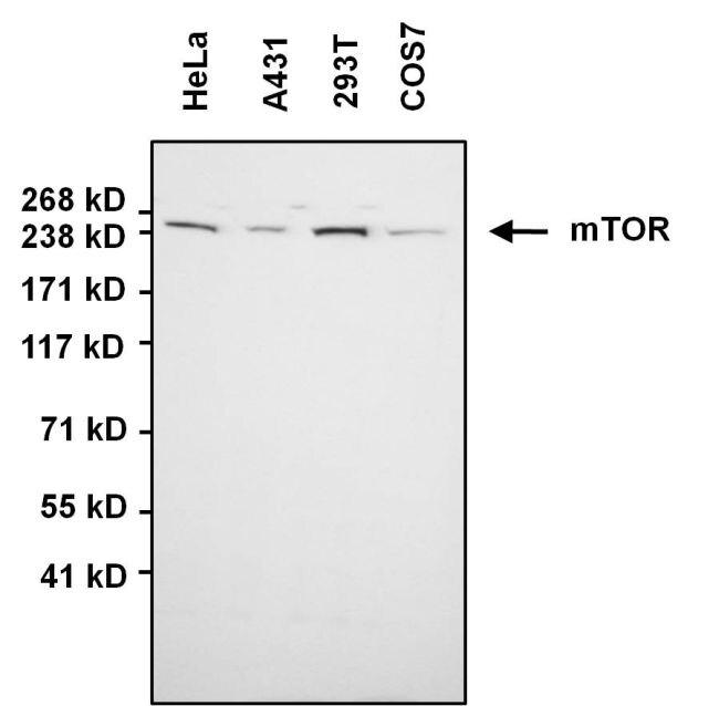 mTOR Antibody (PA1-188) in Western Blot