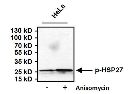 Phospho-HSP27 (Ser85) Antibody (PA1-005) in Western Blot