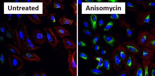 Phospho-HSP27 (Ser15) Antibody (PA1-016) in Immunofluorescence