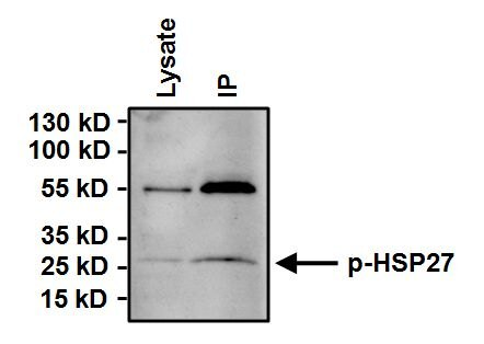 Phospho-HSP27 (Ser15) Antibody (PA1-016) in Immunoprecipitation