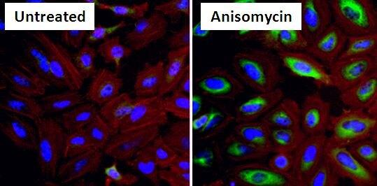 Phospho-HSP27 (Ser15) Antibody (PA1-018) in Immunofluorescence
