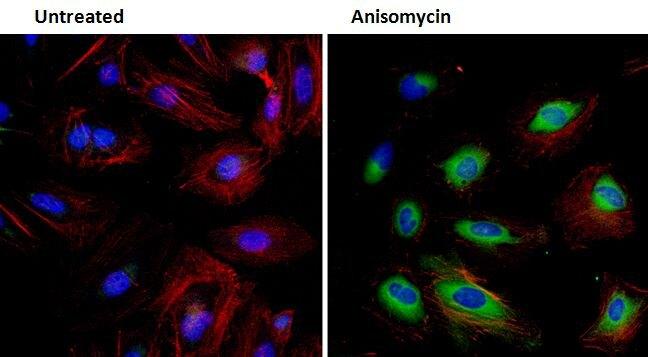 Phospho-HSP27 (Ser78) Antibody (PA5-17662)