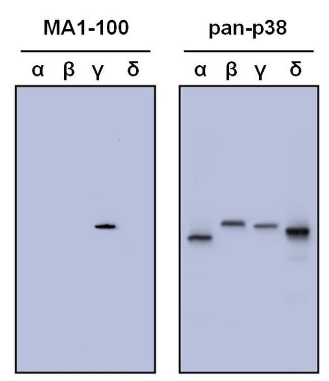 p38 MAPK gamma Antibody (MA1-100) in Western Blot
