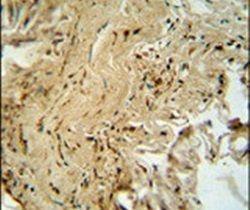 p38 MAPK alpha Antibody (PA5-14055)