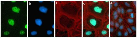 Immunocytochemistry analysis of U2OS cells stained with Rb [pSpT249/252] ABfinity™ Recombinant Rabbit Monoclonal Antibody, using (A) Alexa Fluor® 488 Goat Anti-Rabbit was used as secondary (green). (B) DAPI was used to stain the nucleus (blue) and (C) Alexa Fluor® 594 phalloidin was used to stain actin (red). (D) Composite image of cells showing nuclear localization of phosphorylated Rb. (E) Composite image of cells showing competition with the phospho Rb [pSpT249/252].