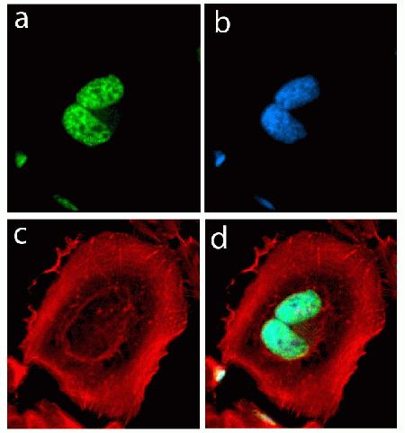 Immunocytochemistry analysis of HeLa cells stained with Alpha-Synuclein Rabbit Recombinant Oligoclonal Antibody using (A) Alexa Fluor® 488 Goat Anti-Rabbit was used as secondary (green). (B) DAPI was used to stain the nucleus (blue) and (C) Alexa Fluor® 594 phalloidin was used to stain actin (red). (D) Composite image of cells showing cytoplasmic and nuclear localization of Alpha-Synuclein. (Cat. No. 701085)