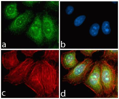 Immunocytochemistry analysis of HeLa cells stained with PDGFR-alpha ABfinity™ Recombinant Rabbit Monoclonal Antibody using (A) Alexa Fluor® 488 Goat Anti-Rabbit was used as secondary (green). (B) DAPI was used to stain the nucleus (blue) and (C) Alexa Fluor® 594 phalloidin was used to stain actin (red). (D) Composite image of cells showing cytoplasmic and nuclear membrane localization of PDGFR-alpha.