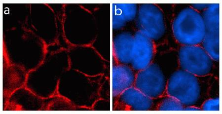 Immunocytochemistry analysis of U2OS cells stained with Occludin ABfinity™ Recombinant Rabbit Monoclonal Antibody, using (A) Alexa Fluor® 594 Goat Anti-Rabbit was used as secondary (red). DAPI was used to stain the nucleus (blue). (B) Composite image of cells showing localization of Occludin at tight junctions.
