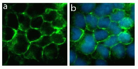 Immunocytochemistry analysis of U2OS cells stained with Connexin 40 (C-term) ABfinity™ Recombinant Rabbit Oligoclonal Antibody, using (A) Alexa Fluor® 488 Goat Anti-Rabbit was used as secondary (green). DAPI was used to stain the nucleus (blue). (B) Composite image of cells showing cell junction localization of Connexin 40 (C-term).