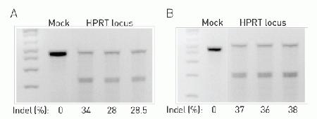 Gel image of a cleavage assay using the GeneArt® Genomic Cleavage Detection Assay (Cat. No. A24372) for the HPRT locus. (A) Results using the GeneArt® CRISPR Nuclease OFP Vector expressing HPRT-specific CRISPR RNA. (B) Results obtained using the GeneArt® CRISPR Nuclease CD4 Vector expressing HPRT-specific CRISPR RNA. Following transfection into HeLa cells, triplicate cleavage assays were performed and the percentage of indels were calculated.