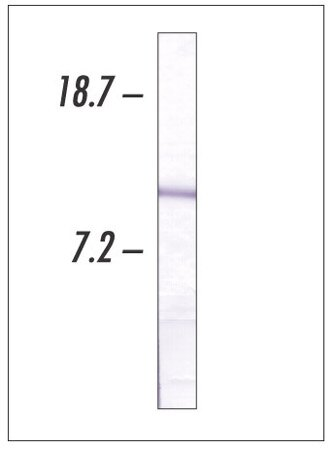 Western blot of Cytochrome c expression in HeLa cells using Ms x Cytochrome c (Cat. No. 33-8500)