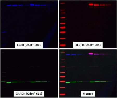 Simultaneous detection of three proteins on a single blot using Qdot® secondary antibody conjugates. A western