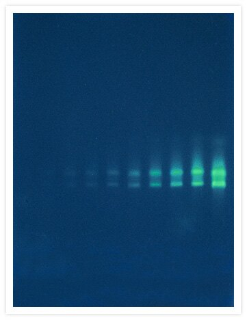A twofold dilution series of <i>Escherichia coli</i> 16S and 23S ribosomal RNA (rRNA) that has been electrophoresed on a nondenaturing 1% agarose gel and then stained with our SYBR® Green II RNA gel stain (Cat. no. S7564, S7568, S7586).  Gel staining was visualized with 254 nm epi-illumination.