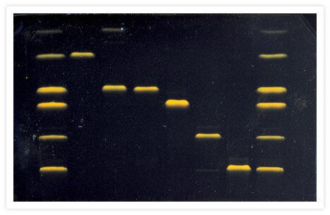 Purified bacteriophage T4 replication proteins that have been electrophoresed on a 12% SDS-polyacrylamide gel and then stained with SYPRO® Orange protein gel stain (Cat. no. S6650, S6651). Gel staining was visualized with 300 nm epi-illumination. T4 phage proteins were a gift from the laboratory of Peter von Hippel, Institute of Molecular Biology, University of Oregon.