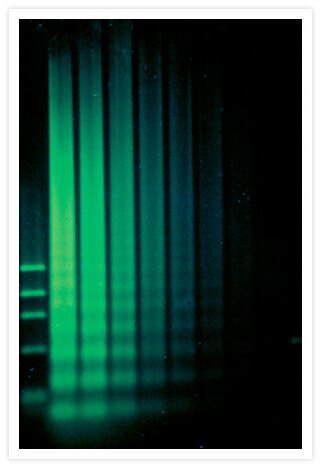 DNA extracts from camptothecin-treated HL-60 cells were separated on an agarose gel and stained with SYBR® Green I Nucleic Acid Gel Stain (Cat. No. S7563, S7567, S7585). The 200 to 5,000 bp DNA fragments characteristic of apoptotic cells (which appear as