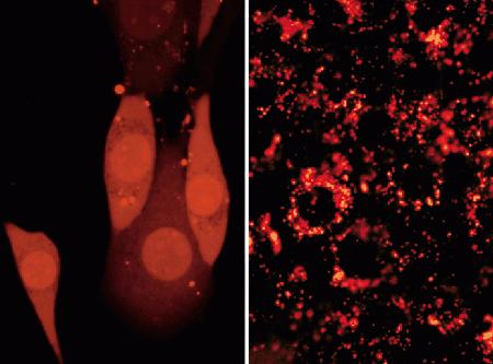 Adherent CRE BAG 2 cells passively loaded with the membrane-impermeant polar tracer Alexa Fluor 594 hydrazide (A10438, A10442). The image on the left illustrates the relatively uniform, cytoplasmic labeling one can obtain with the Influx pinocytic cell-loading reagent (I14402), compared to the punctate labeling that results from pinocytic uptake in normal growth medium (right panel). Both images were acquired using a bandpass filter set appropriate for rhodamine dyes.