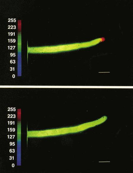 Top panel: Pseudocolored image of a pollen tube of <i>Lillium longiflorum</i> injected with fura dextran (Cat. No. F3029). The cell continues elongating and clearly shows a Ca<sup>2+</sup> gradient.<br>