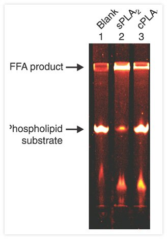Assay of cytoplasmic phospholipase A<sub>2</sub> (cPLA<sub>2</sub>) using ß-BODIPY® FL C<sub>5</sub>-HPC (Cat. No. D3803) as a substrate. The substrate was incubated in enzyme-free assay buffer (lane 1), with secreted PLA<sub>2</sub> (from <i>Naja mossambica</i>; lane 2) or with purified human recombinant cPLA<sub>2</sub> (lane 3).  Cleavage products were separated by thin-layer chromatography in chloroform/methanol/acetic acid/water (50:30:8:4) and were subsequently analyzed using a fluorescence image scanner. Both phospholipases liberated fluorescent BODIPY® FL dye–labeled fatty acids (FFA) by cleavage of the substrate at the <i>sn</i>-2 acyl bond. Figure reproduced with permission from J Biol Chem 274, 19338 (1999).