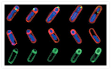 Correlated fluorescence imaging of membrane migration, protein translocation, and chromosome localization during <i>Bacillus subtilis</i> sporulation. Membranes were stained with red-fluorescent FM® 4-64 (Cat. No. T3166, T13320).  Chromosomes were localized with the blue-fluorescent nuclear counterstain, DAPI (Cat. No. D1306, D3571, D21490). The small, green-fluorescent patches (top row) indicate the localization of a GFP fusion to SpoIIIE, a protein essential for both initial membrane fusion and forespore engulfment.  Progression of the engulfment is shown from left to right. Green fluorescence in the middle and bottom rows demonstrates fully engulfed sporangia stained with MitoTracker® Green FM (Cat. No. M7514). Full details of the experimental methods and interpretation are published in Proc Natl Acad Sci U S A 96, 14553 (1999). Image contributed by Kit Pogliano and Marc Sharp, University of California at San Diego. Reproduced from the 7 December 1999 issue of <i>Proc Natl Acad Sci U S A</i>, with permission.