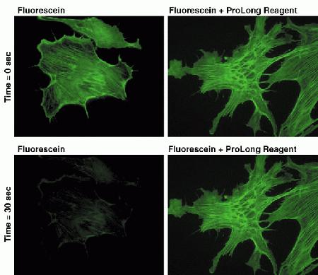 Bovine pulmonary artery endothelial cells were labeled with fluorescein phalloidin (Cat. no. F432), which labels filamentous actin, and placed under constant illumination on the microscope with a FITC filter set using a 60× objective. Images were acquired at one-second intervals for 30 seconds. Under these illumination conditions, fluorescein photobleached to about 12% of its initial value in 30 seconds in PBS (left), but stayed at the initial value under the same illumination conditions when mounted using the reagents in the ProLong® Antifade Kit (right, Cat. no. P7481).