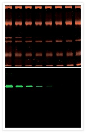 Zymographic detection of ß-D-glucuronidase activity using ELF® 97 ß-D-glucuronidase substrate (Cat. No. E6587, bottom) after visualization of total-protein patterns using SYPRO® Tangerine protein gel stain (Cat. No. S12010, top).