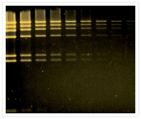 A two-fold dilution series of HindIII-digested lambda DNA was separated by electrophoresis through an agarose gel and stained with SYBR® Gold Nucleic Acid Gel Stain (Cat. No. S11494). Gel staining was visualized using the Dark Reader transilluminator (Clare Chemical Research).