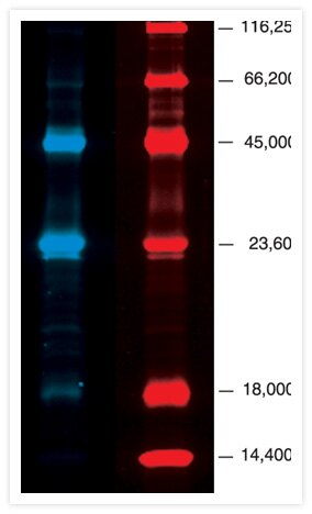PeppermintStick phosphoprotein molecular weight standards (P33350, P27167) separated on a 13% SDS polyacrylamide gel. The markers contain (from largest to smallest) ß-galactosidase, bovine serum albumin (BSA), ovalbumin, ß-casein, avidin and lysozyme. Ovalbumin and ß-casein are phosphorylated. The gel was stained with Pro-Q Diamond phosphoprotein gel stain (blue) followed by SYPRO Ruby protein gel stain (red). The digital images were pseudocolored.