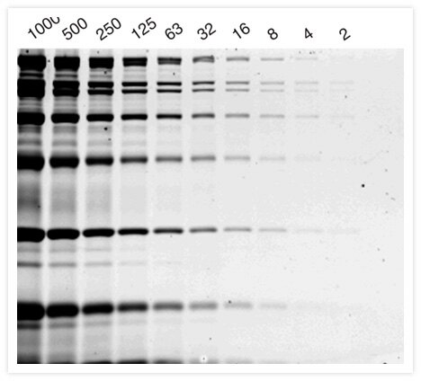 Protein molecular weight standards (in nanograms) were separated on a 12% SDS-polyacrylamide gel and then stained with Coomassie Fluor™ Orange protein gel stain (C33250, C33251). The colors have been digitally reversed.