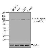 STAT5 alpha Antibody (13-3600)