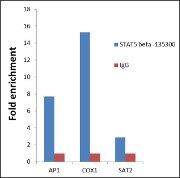STAT5 beta Antibody (13-5300)