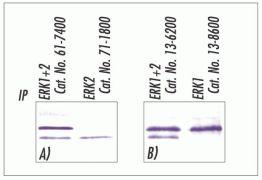 ERK1/ERK2 Antibody (13-6200)