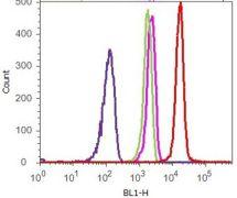 beta Catenin Antibody (13-8400)