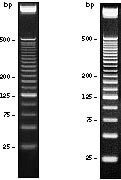 25 bp DNA Ladder.