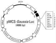 Plasmid map of the pMCS-<em>Gaussia</em> Luc Vector
