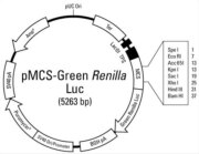 Plasmid map of the pMCS-Green-<em>Renilla</em> Luc Vector