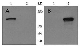 c-Myc Tag Antibody (R952-25)
