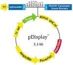 pDisplay™ vector