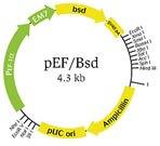 pEF/Bsd vector