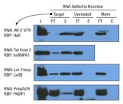 End-labeled RNA enriches specific target binding proteins