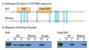 Example RNA-protein pull-down experiment
