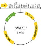 pVAX1© vector