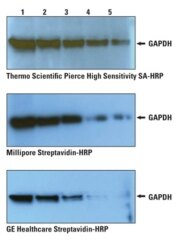 High Sensitivity HRP Conjugates provide superior performance in Western blotting