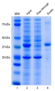 Immunoprecipitation of HA-tagged protein (GST-PI3K-SH2-HA) from <em>E. coli</em> lysate