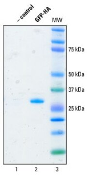 Purification of HA-tagged protein from the human <em>in vitro</em> expression lysate